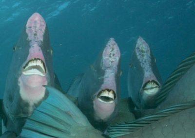 Bueffelkopfpapageienfische